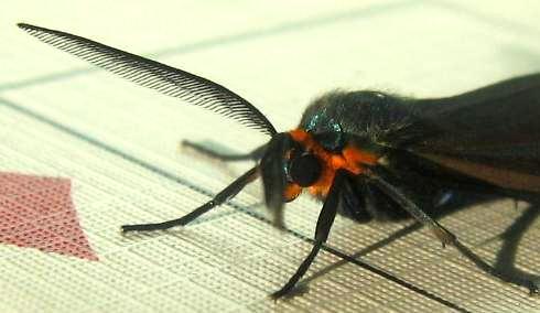 ctenuchavirginicaheadantennadetail.jpg