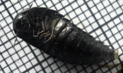 Carrion Beetle Larva Unidentified Eggs The Backyard