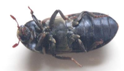 Larder beetle bite - photo#4