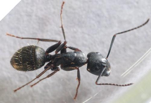 the carpenter ant family the backyard arthropod project