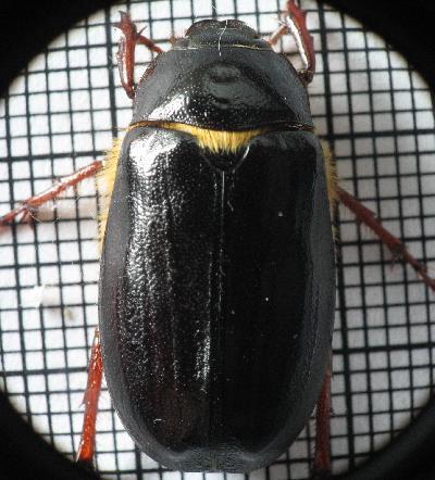 phyllophagabeetledorsal.jpg