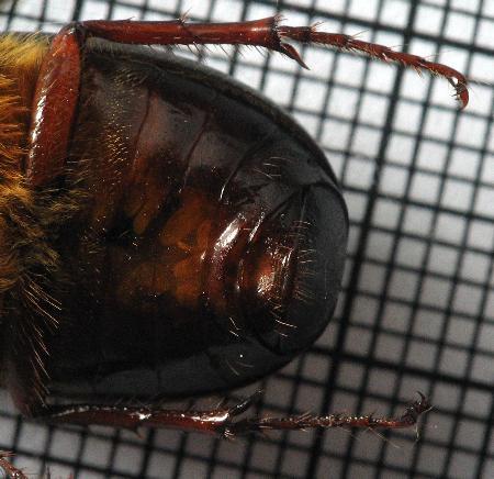 phyllophagabeetleundersideabdomen.jpg