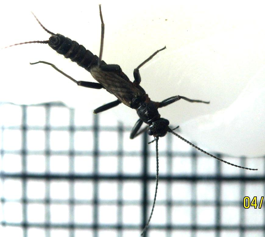 april-6-larger-stonefly-dorsal.jpg