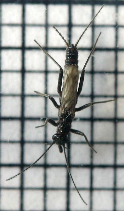 april-6-small-stonefly-dorsal.jpg
