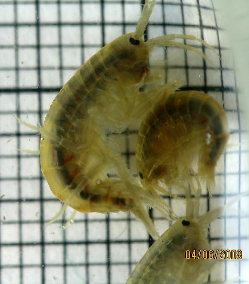 Freshwater Amphipod – Gammarus | The Backyard Arthropod Project