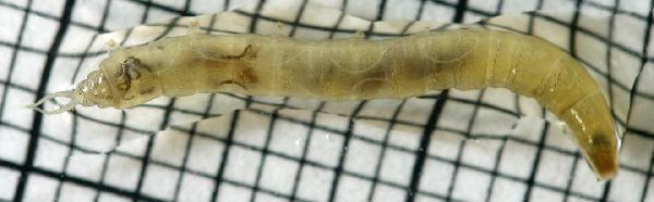 Aquatic crane fly larva