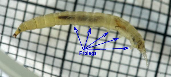 Aquatic crane fly larva legs