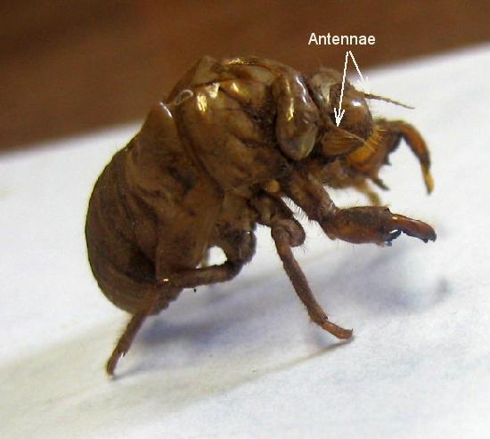 cicada nymph - photo #49