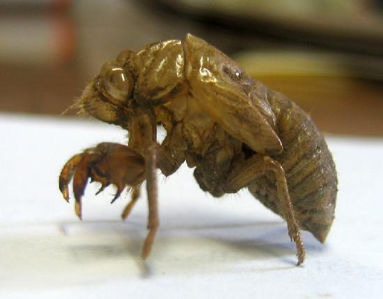 Cicada Nymph Skin The Backyard Arthropod Project