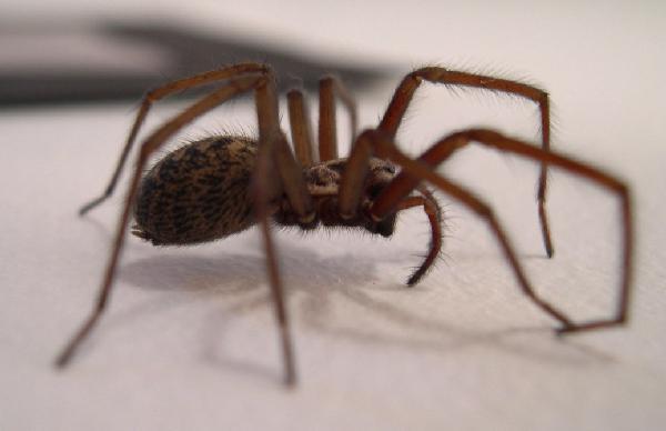 Black House Spider Identification