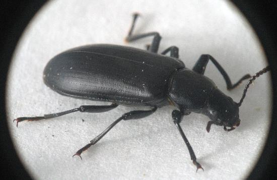 Flying Black Beetle when you find a beetle