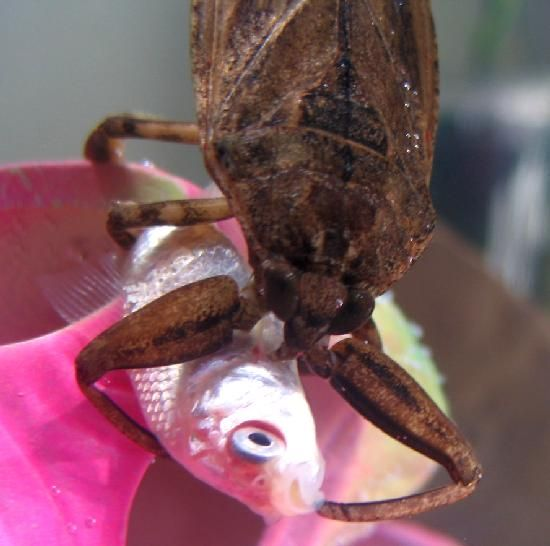 Giant Water Bug – Toe Biter | The Backyard Arthropod Project