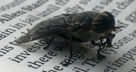 horseflyside