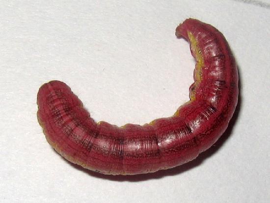Angulose.prominent.dorsal