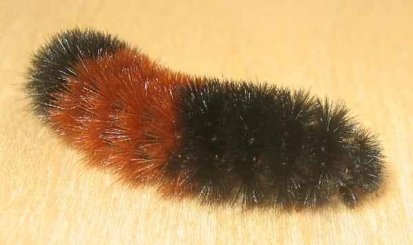 Without Wooly bear strips catapillar