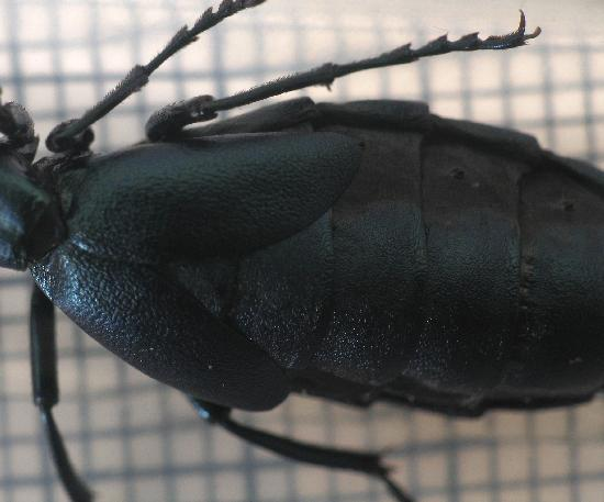 Oil.beetle.dorsal.wing.covers