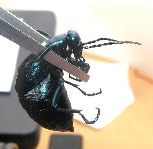 Oil.beetle.side.tweezers