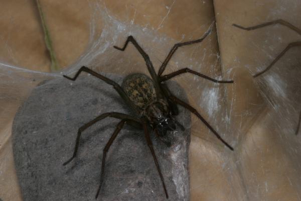 Funnel Web Grass Spider