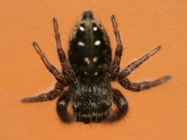 Black jumping spider with red dot - photo#42