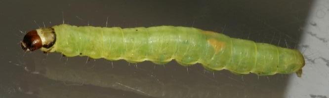 Identify Green Caterpillar Green caterpillar devoured by