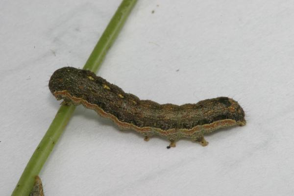 Gray Caterpillars That Are Big: Moth Reared From Insect Eggs Found On House Siding