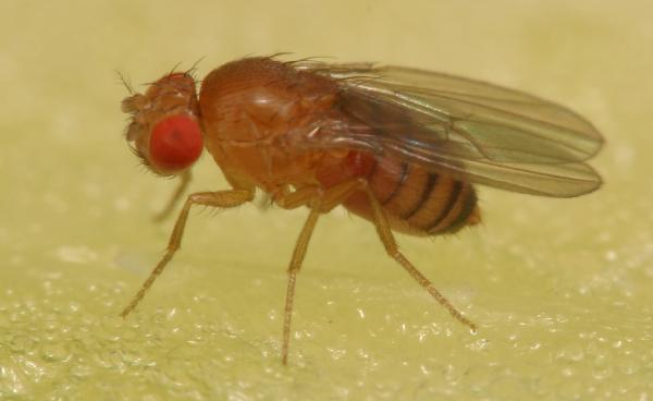 Vinegar flies | The Backyard Arthropod Project