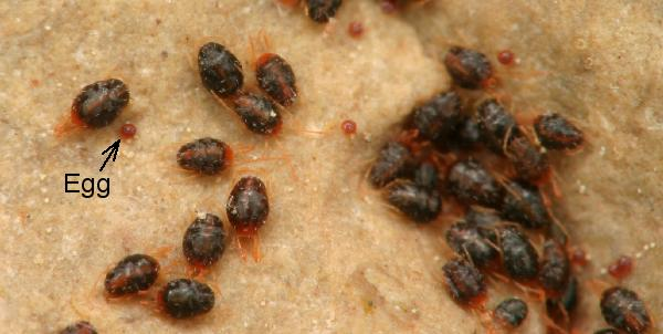 Can Bedbugs Cause Scabies? | Best Scabies Treatment: Dr ...