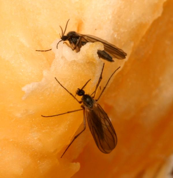 Fungus Gnats from the Woods | The Backyard Arthropod Project