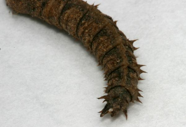 Crane fly pupae - photo#13