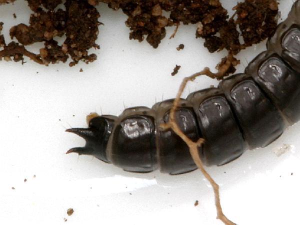 Carabid Ground Beetle Larva | The Backyard Arthropod Project