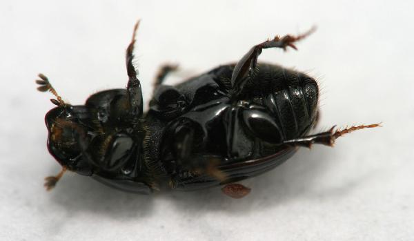 small dung beetle calamosternus the backyard arthropod project