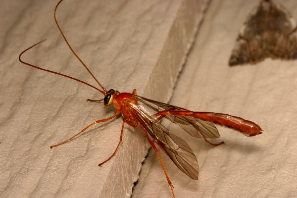 Large, Brown, Crane-fly-like Ichneumon Wasps | The Backyard ...