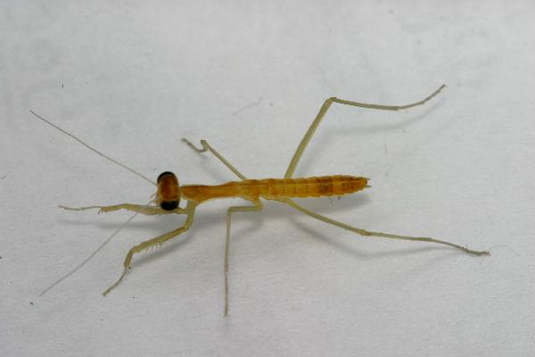 Chinese Mantis Raised from Egg Case | The Backyard ...