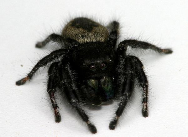 Small Black Fuzzy Spider http://somethingscrawlinginmyhair.com/2012/05/02/large-black-furry-jumping-spider/