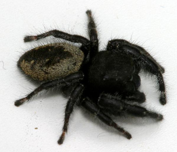 Congratulate, this black and yellow hairy spider
