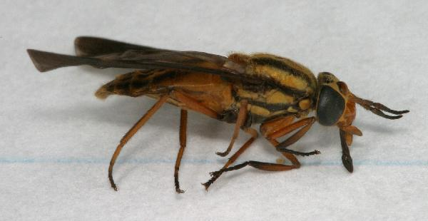 Deer Fly Bite