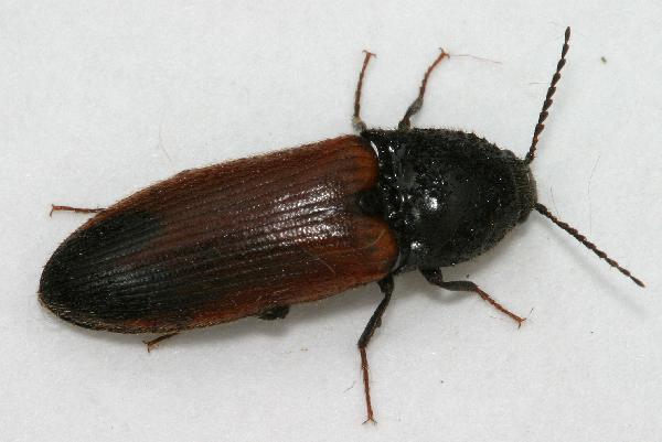 Three Click Beetles The Backyard Arthropod Project. Click Beetle In House   45degreesdesign com