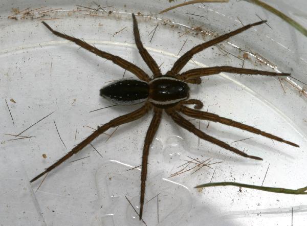 Fishing Spider The Backyard Arthropod Project