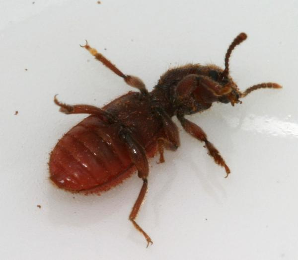 The. Small Red Beetle from Decaying Stump   The Backyard Arthropod Project