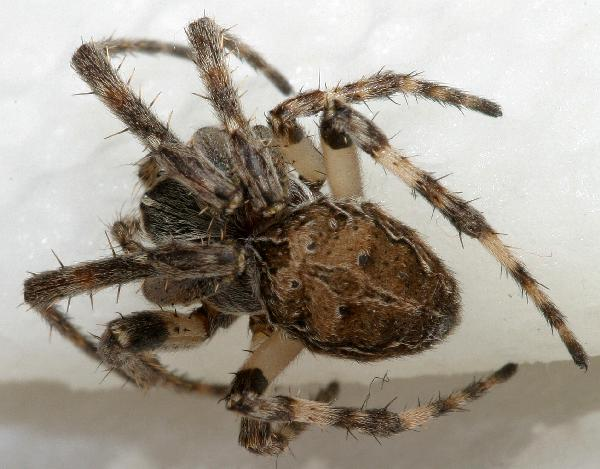 Chelicerata mainly spiders mites and other arachnids for Fishing spider michigan