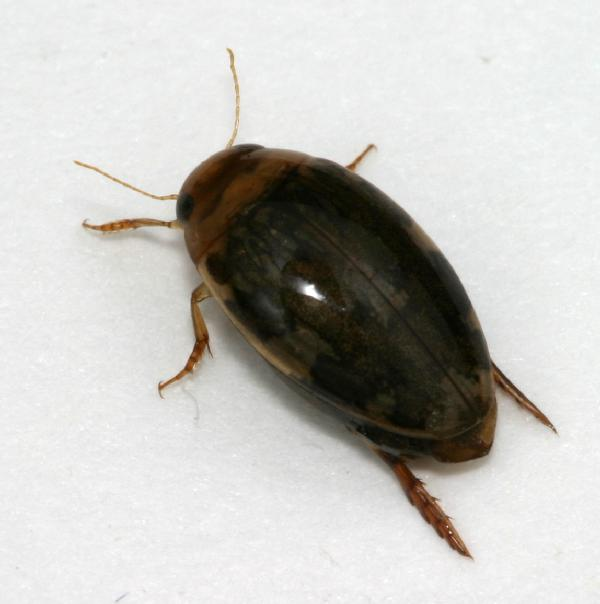 Being on the small. Small Predaceous Diving Beetles   Dingy Divers   The Backyard