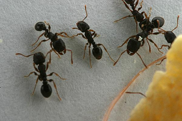 how to get rid of pavement ants in my house