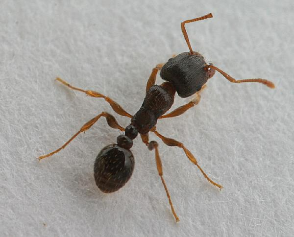 pavement ants love fritos and have big nests the