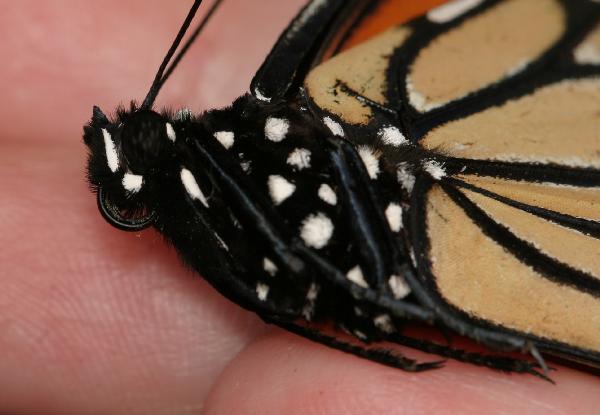 Monarch butterfly body - photo#19