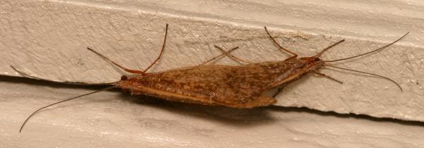 November Caddisflies | The Backyard Arthropod Project
