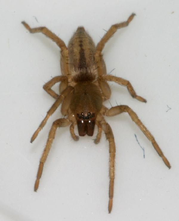 Sac Spider, or maybe Ghost Spider | The Backyard Arthropod