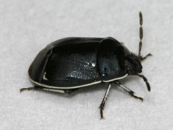 Its jet black body with white. Shiny black bug with white edging   The Backyard Arthropod Project