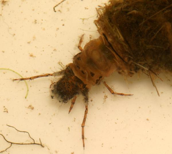 Caddisfly Nymphs | The Backyard Arthropod Project