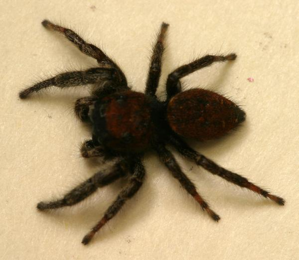 Black jumping spider with red dot - photo#40