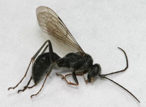 little black spider wasp the backyard arthropod project